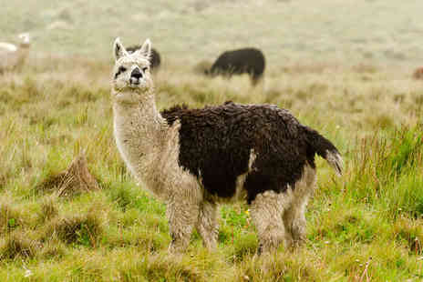 Faerie Tale Alpacas - Two hour alpaca experience for two - Save 24%