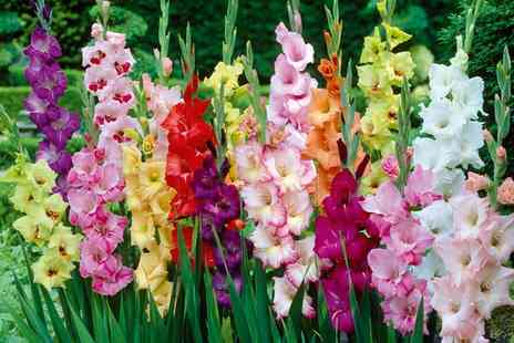 Groupon Goods Global GmbH - 10 or 50 Corms of Gladiolus Plants in Choice of Variety - Save 38%