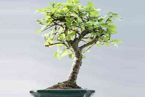 Plant Store - Bonsai Tree with Glazed Ceramic Display Dish - Save 81%