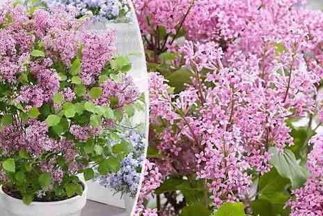 Plant Store - Pair of Dwarf Korean Lilac Shrubs Syringa Josee in Bud - Save 63%