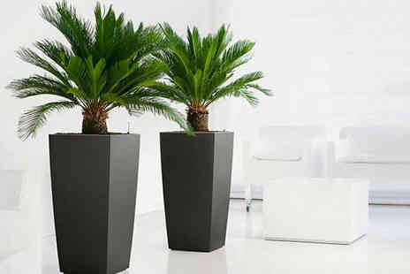 Plant Store - Pair of King Sago Palm Trees - Save 63%