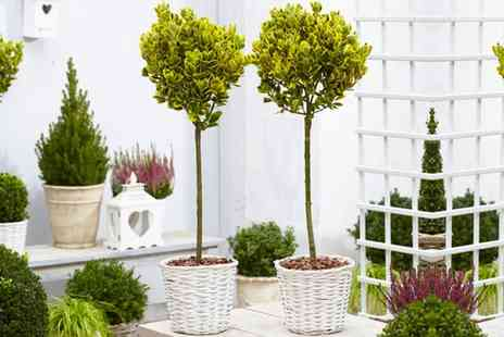 Groupon Goods Global GmbH - One or Two Euonymus Evergreen Topiary Trees with Optional White Baskets - Save 23%