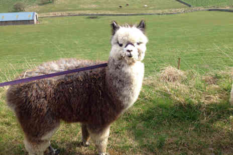 Beirhope Alpacas - 90 minute alpaca trek and adoption experience for two - Save 51%