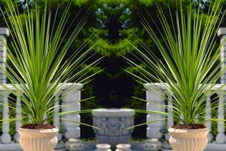 Groupon Goods Global GmbH - Pair of Large Cordyline Australis Verde Plants with Optional Planters - Save 0%
