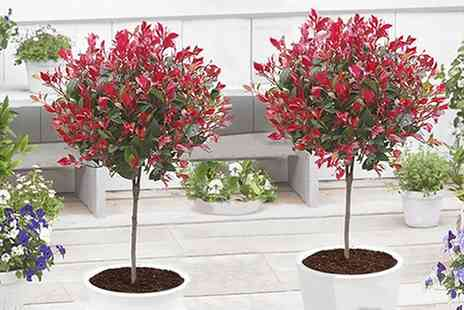 Groupon Goods Global GmbH - One or Two Evergreen Photinia Little Red Robin Trees with Optional Planters - Save 29%