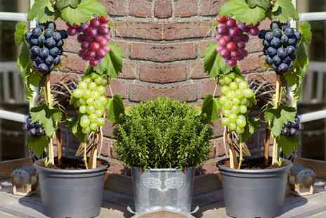 Groupon Goods Global GmbH - Three or Six Three Colour Grape Plants - Save 49%