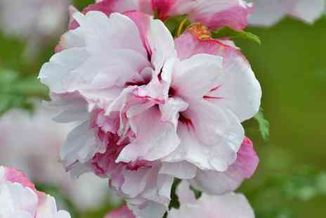 Groupon Goods Global GmbH - One, Three or Six French Cabaret Hibiscus Plant Roots in Choice of Colour - Save 11%
