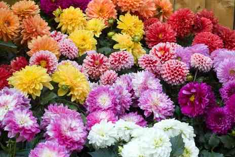 Groupon Goods Global GmbH - Four or Eight Dahlia Plants Collection - Save 47%