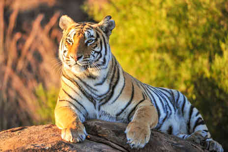 Safari Zoo - Big cat feeding and zoo keeper experience for one - Save 53%