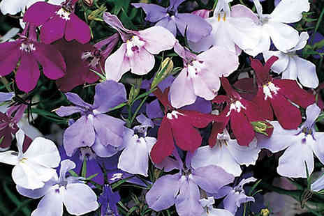 Jersey Plants Direct - 170 Lobelia Trail Away Plug Plants - Save 42%