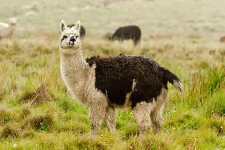 Faerie Tale Alpacas - Two hour alpaca experience for two - Save 53%