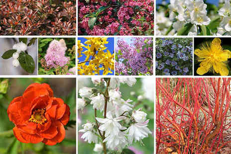 Blooming Direct - 12 twelve colourful hardy shrubs - Save 44%