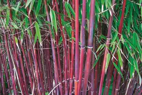 Groupon Goods Global GmbH - One or Two Asian Wonder Bamboo Plants - Save 32%