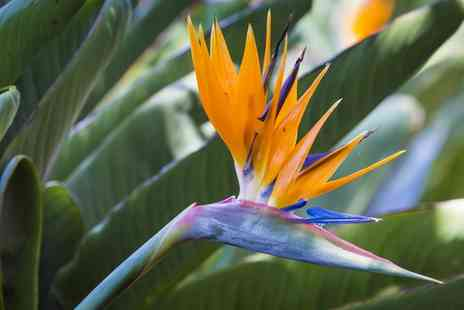Groupon Goods Global GmbH - One or Two Strelitzia Bird of Paradise Plants with Optional Terracotta Pots - Save 53%