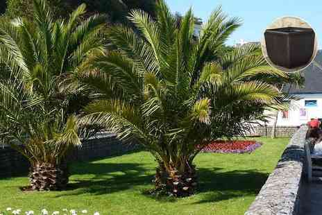 Blooming Direct - Two Canary Island palm trees and two five litre, metallic effect plant pots - Save 46%