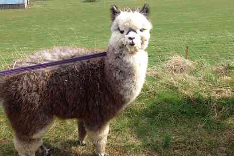 Beirhope Alpacas - 90 Minute Alpaca Trek and Adoption Experience for Two - Save 0%