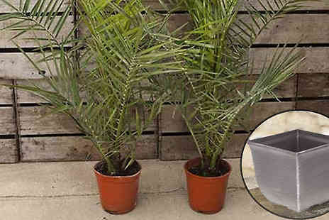 Blooming Direct - 2 x Canary Island Palm Trees & Pots - Save 46%