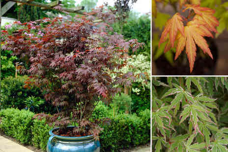 Blooming Direct - Bundle of Three Japanese maple acer trees - Save 47%