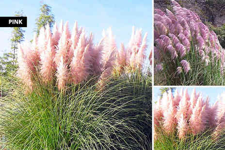 PlantStore - Three pampas grass plants choose white or pink - Save 55%