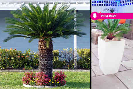 Bentleys - Pair of cycas revoluta palm trees or pair of palm trees with two planters - Save 57%