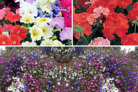 Blooming Direct - Complete bedding plant bundle - Save 46%