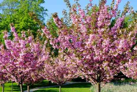 Groupon Goods Global GmbH - One, Two or Four Flowering Cherry Almond Trees - Save 20%