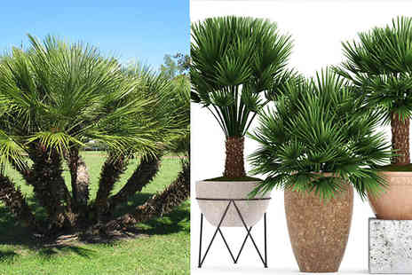 Bentleys - 2 x Palm Trees Chamaerops Humilis With or Without Planters - Save 58%