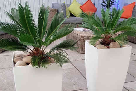 Bentleys - 2 x Luxury King Cycas, With or Without Planters - Save 62%