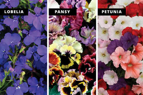 Gardening Direct - One tray of 70 spring garden ready plants - Save 41%