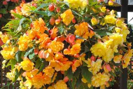 Groupon Goods Global GmbH - 10 x 5cm Begonia and Apricot Shade Tubers - Save 47%