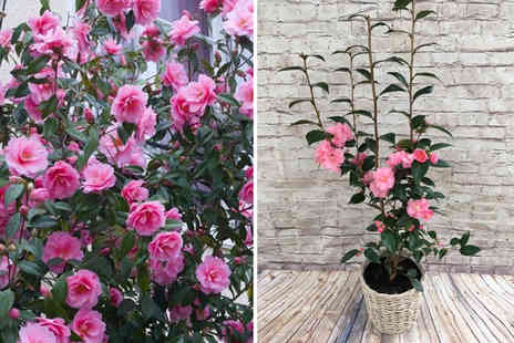 Plant Store - One, two or three pink Camellia Spring Festival plant - Save 34%