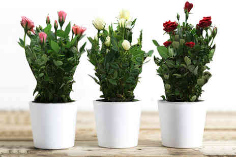 flowers delivery 4 u - Set of three assorted rose plants - Save 60%