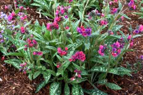 Groupon Goods Global GmbH - One or Three 9cm Potted Hardy Pulmonarias - Save 0%