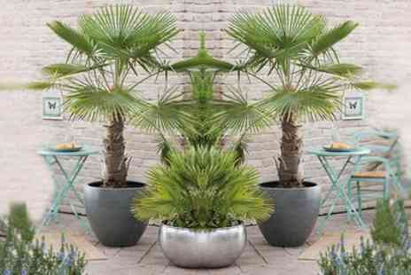 Groupon Goods Global GmbH - One, Two or Four Windmill Palm Trees - Save 25%