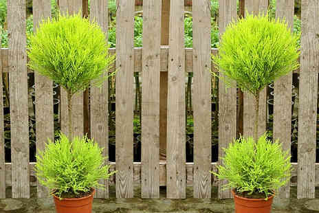 Plant Store - Pair of evergreen Goldcrest topiary trees - Save 51%