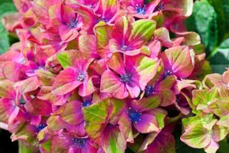 Groupon Goods Global GmbH - One, Two, Three or Six Hydrangea Glam Rock Plants - Save 46%