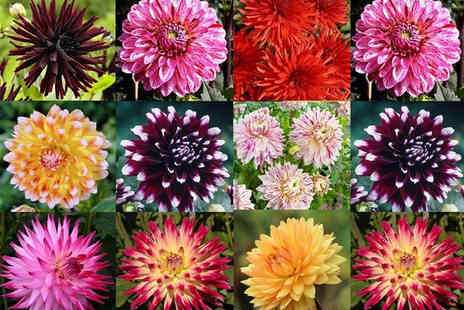 PlantStore - 10 piece Dahlia collection - Save 71%