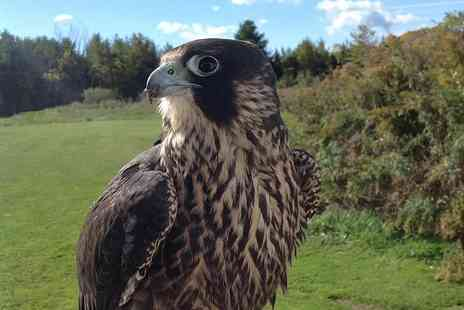 North East Falconry - One hour or 90 minutes bird of prey hawkwalk experience - Save 68%