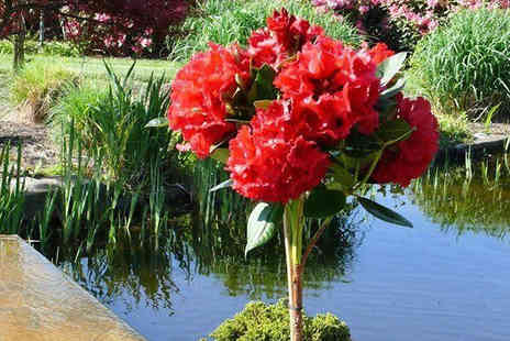 Plant Store - Red Jack Rhododendron Tree - Save 50%