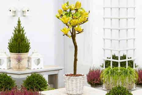 Plant Store - One Magnolia Yellow Bird patio tree - Save 61%