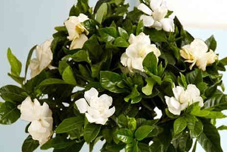 Plant Store - 2 Fragrant Gardenia Trees in Bud and Bloom - Save 61%