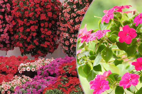 Jersey Plants Direct - Large Trailing Busy Lizzie Plants Choose Pack of 70, 140 or 280 - Save 38%