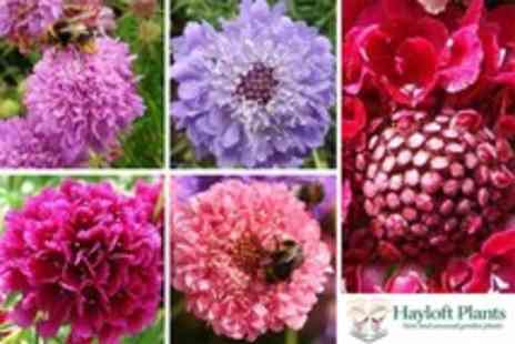 Hayloft Plants - Two Sets of Five Mixed Scabious Flowers - Save 54%