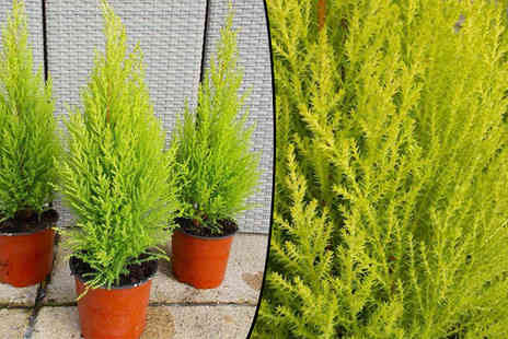 Plant Store - Gold Crest, Lemon Scented Monterey Cypress Choose Pack of 3 - Save 60%