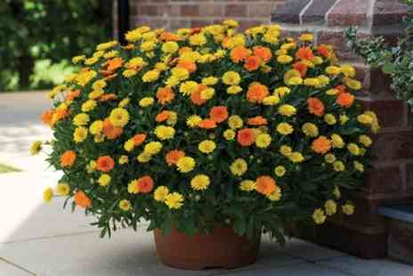Groupon Goods Global GmbH - Five or Ten Spreading Marigold Plants with One or Two Optional Hanging Baskets - Save 0%