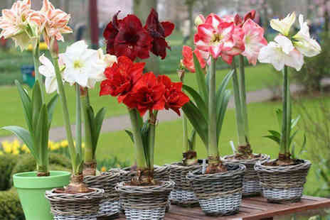 Plant Store - Pack of 3 assorted Amaryllis bulbs - Save 65%