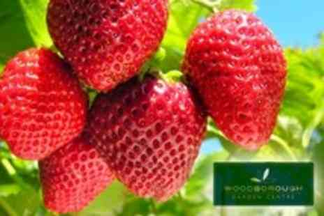 Woodborough Garden Centre - Strawberry Picking For Up to Four With Drink Each - Save 96%