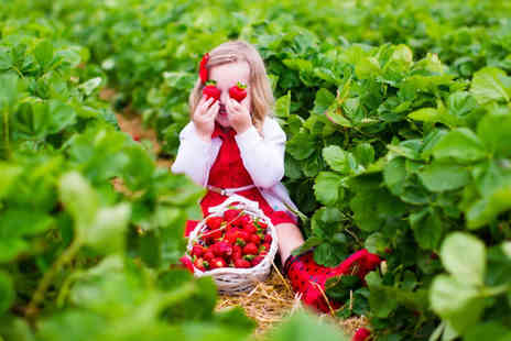 Spilman Farming - 1kg of strawberry picking and an ice cream or hot drink each for two or 2kg of strawberry picking and an ice cream or hot drink each for four - Save 34%