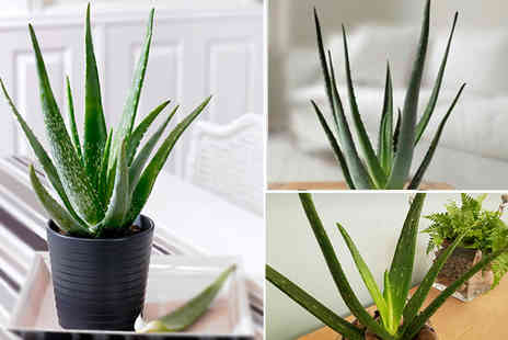 Bentleys - Large aloe vera plant with a planter - Save 69%