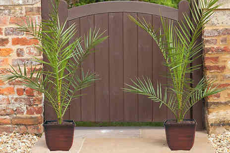 Blooming Direct - 2 Canary Island Palm Trees & Decorative Pots - Save 51%